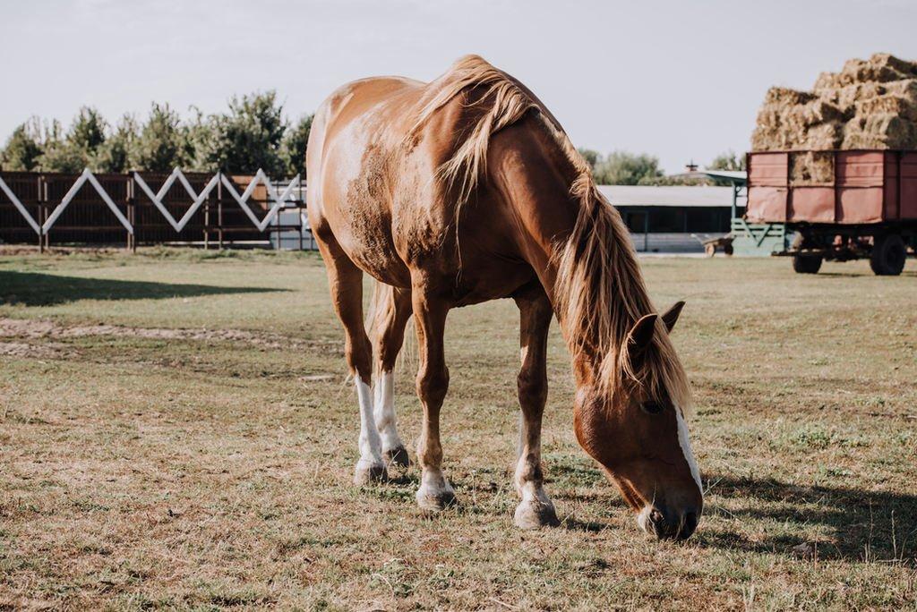 koń gryzący trawę na wsi